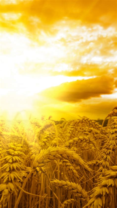 wallpaper ears   wallpaper wheat sun sky yellow