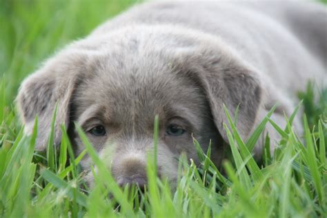 labrador puppies for sale bay area labrador puppies for sale bay area ca dogs in our photo
