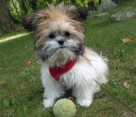 pomeranian shih tzu maltese mix black shih tzu maltese mix dogs search mal shis chihuahuas