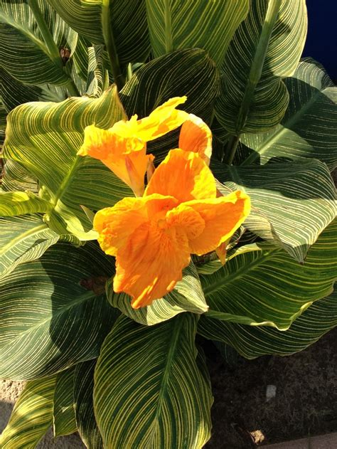 canna quot bengal tiger quot gardening and landscape pinterest