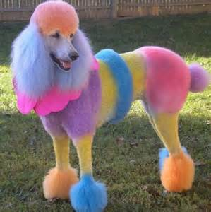poodle colors poodle rainbow poodles and puppies