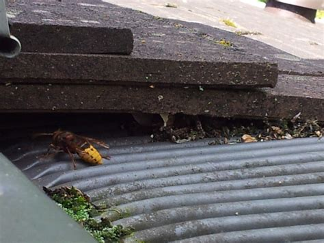 Guepes Sous Les Tuiles nid de gu 234 pes sous mon toit