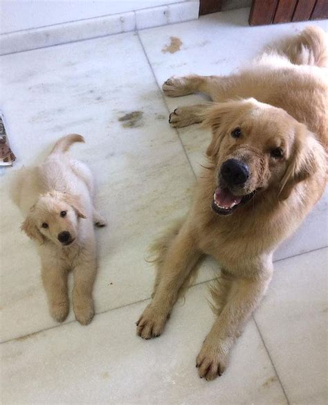 golden retriever puppy rescue california 25 best ideas about golden retriever rescue on golden retriever puppies