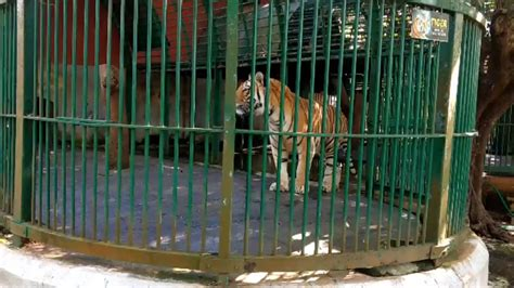 tiger house tiger house thiruvananthapuram zoo youtube