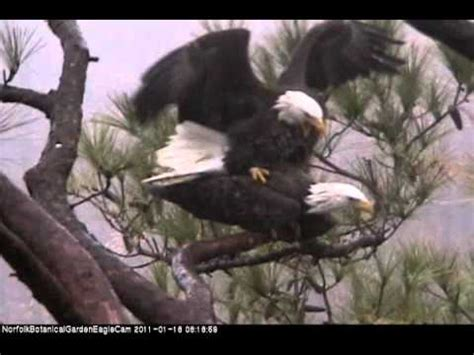 eagles mating 1 18 2011 wmv youtube