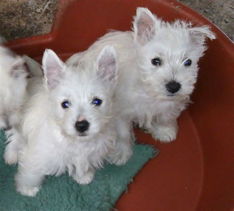 westie puppies for sale westie puppies for sale in breeds picture