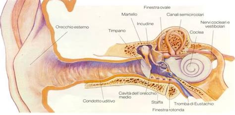 herpes naso interno anatomia e fisiologia