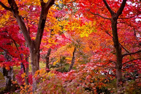 2 maple tree types of maple trees lovetoknow