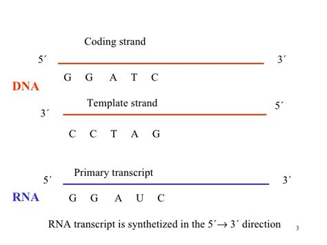 what is a template strand transcription dna2011