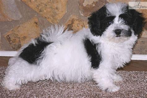 havanese puppies atlanta havanese puppy for sale near atlanta ff1e00d5 e921