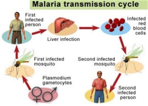 pathophysiology of malaria diagram infectious diseases malaria