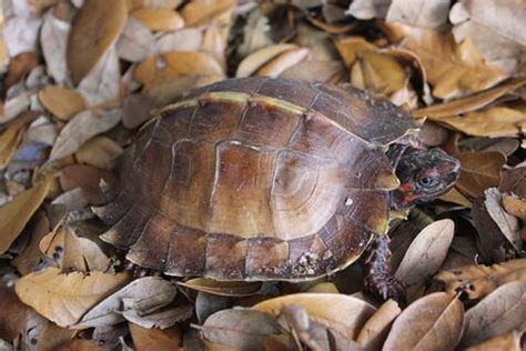 Southern Black Knobbed Map Turtle For Sale by Peninsula Cooter Turtle Omni Reptiles