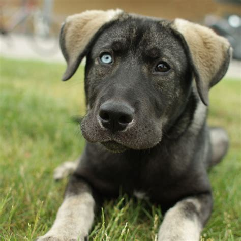 black lab german shepherd mix dogs german shepherd lab mix