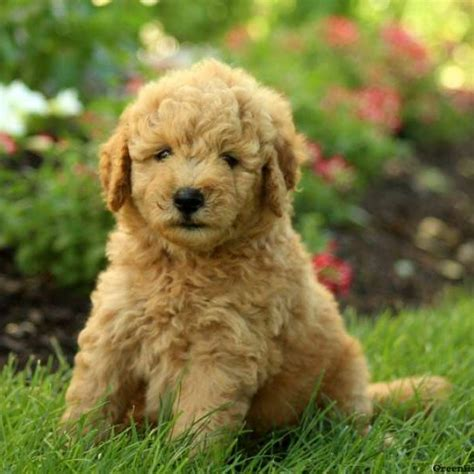 goldendoodle puppy for sale mini goldendoodle puppies for sale greenfield puppies
