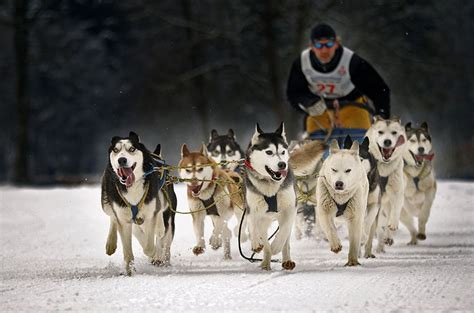 ones dogs thekongblog sled dogs a one of a breed
