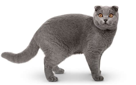 what breed are you quiz 25 adorable cat breed quiz kittens wallpapers