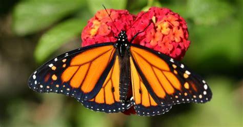 imagenes de mariposas monarcas la mariposa monarca ha llegado a c 225 diz para quedarse