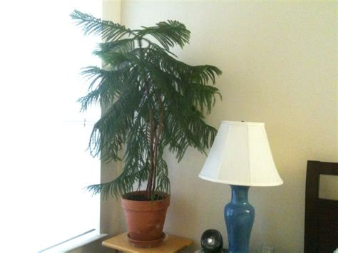 popular indoor trees