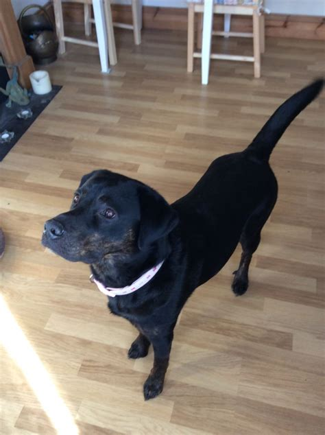 rottweiler x lab lab x rottweiler for adoption bedford bedfordshire pets4homes