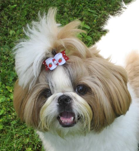 what is shih tzu favorite food shih tzu saturday oh my shih tzu