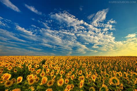 sunflower field golden sunrise over sunflower field with blue sky and clou