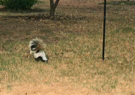 Lost Valley Gardens Sizzling Summer In Austin Skunk In Backyard