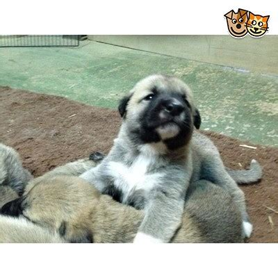 kangal puppies for sale turkish kangal puppies bedford bedfordshire pets4homes