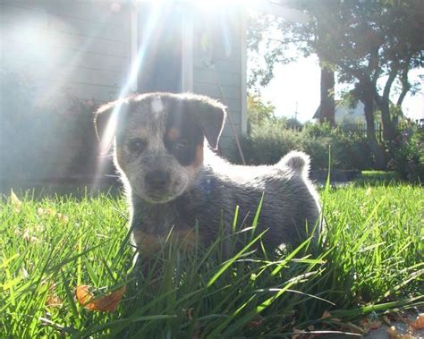 queensland blue blue queensland heeler adorable 0