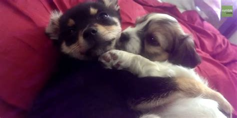 puppies snuggling these puppies just can t keep their paws each other