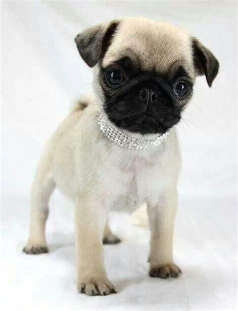 pug collars collar pug pugs