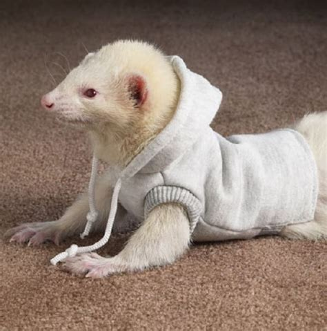 Funny Ferret Best Photos/Pictures 2012   Pets Cute and Docile