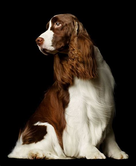 english springer spaniel bench springer spaniel spaniels and english springer spaniels