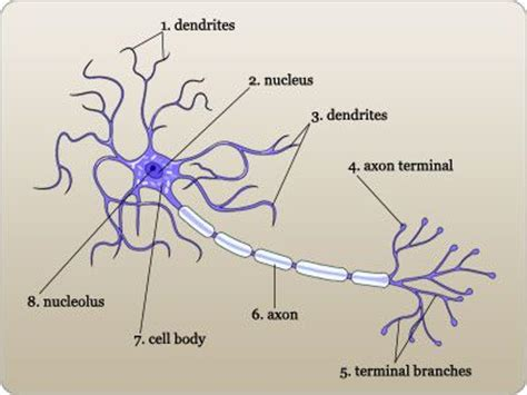 neuron diagram labeled 18 best anatomy and pysiology block 2 images on