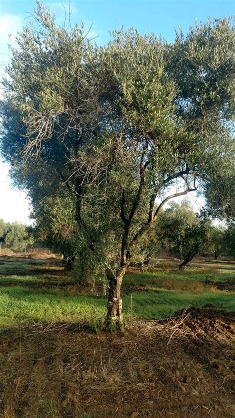 morales olive trees