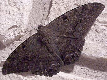 moths in house meaning black moth wandering in metaphysics