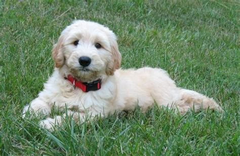 goldendoodle puppies sc south carolina goldendoodle puppies akc