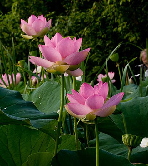 Lotus Blossoms At Kenilworth Aquatic Gardens In Washington Lotus Flower Garden