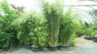 bambus le bambus baumschule willumeit bambus sortiment rhein