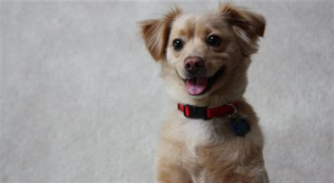 chihuahua mixed with golden retriever chihuahua golden retriever mix www pixshark images galleries with a bite