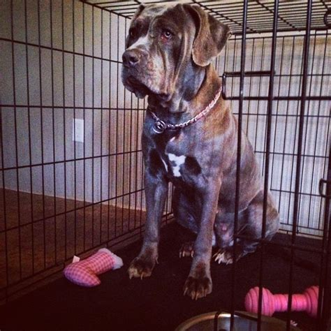 puppies for sale jacksonville nc american mastiff puppies for sale jacksonville nc 252161