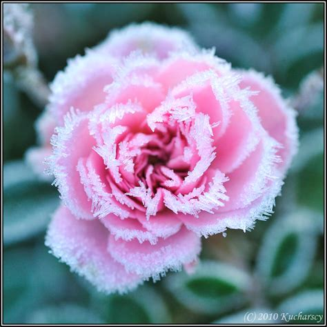 Frozen Flower Frozen Flower Ii By Raptor On Deviantart