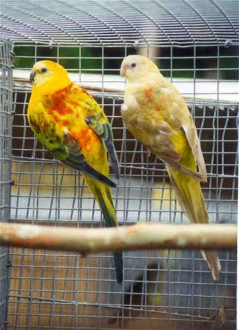 birds for sale san diego male red rump parakeet new 3 perruche omnicolore