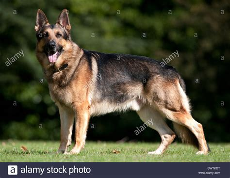 how to an alsatian german shepherd alsatian standing in park uk stock photo royalty free image