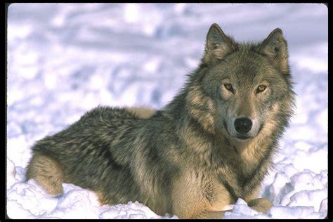 wolf s cascadia wildlands 187 gray wolf