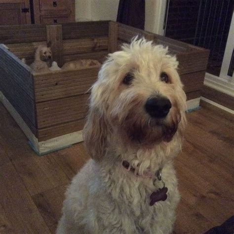 goldendoodle puppy rochester ny f1b standard gooldendoodles rochester kent pets4homes