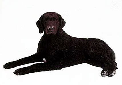 curly haired golden retriever what is a curly coated retriever history