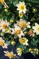 dahlia stock  images plant flower stock