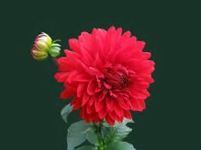 red dahlia flower 183 free stock photo
