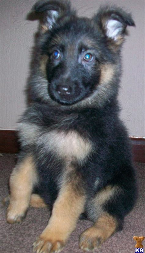 puppies for sale in east german shepherd puppies for sale uk east