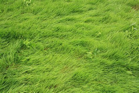 file desert de retz grass 02 jpg